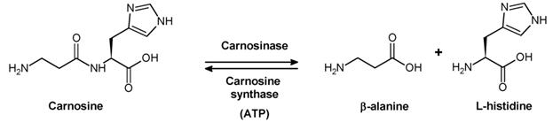 Beta Alanin - Einnahme und Wirkung im Bodybuilding (Carnosine - Grafik)