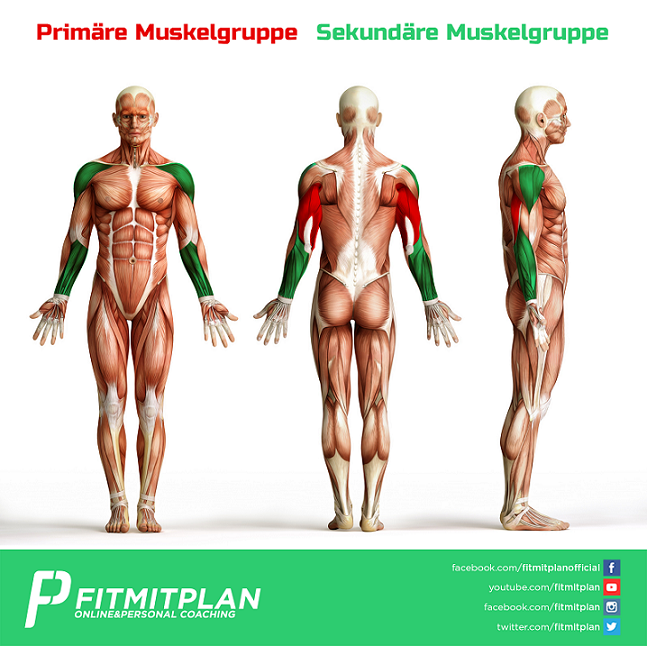 Trizepsdrücken am Kabelzug _Anatomie_Muskelgruppen_Small