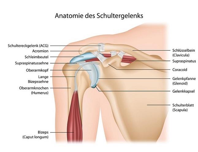 Anatomie Schultergelenk mit Beschreibung deutsch (Arnold Press mit Kurzhanteln)