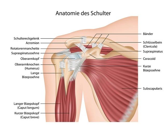 Hammercurls mit Kurzhanteln_Anatomie_Muskelgruppen_Bizeps_Training_Dicke_Oberarme