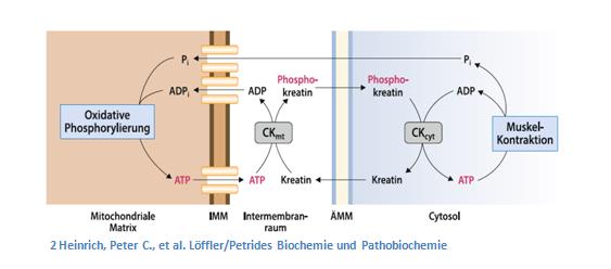 Creatin – Das beliebteste Supplement für den Muskelaufbau_Creatin_Oxidation